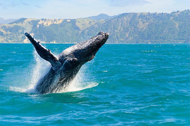 Humpback Whale, Maui
