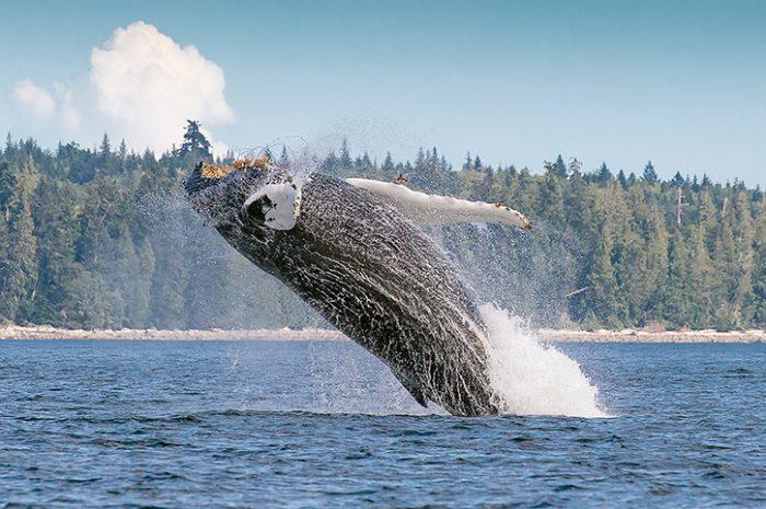 Humpback Whale, Vancouver Island