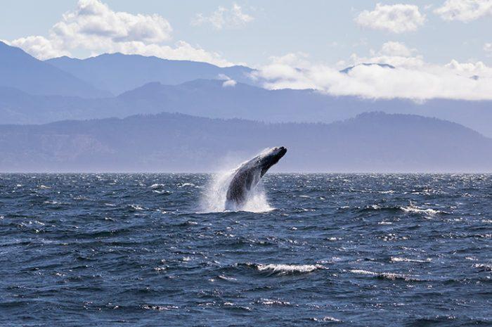 Humpback Whale, Victoria