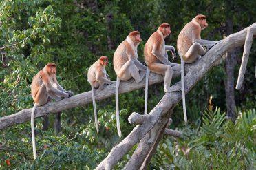 Proboscis Monkeys, Sabah