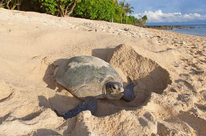 Turtle, Selingan Island