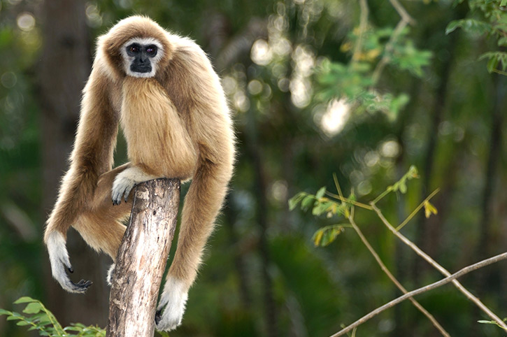 Gibbon, Thailand