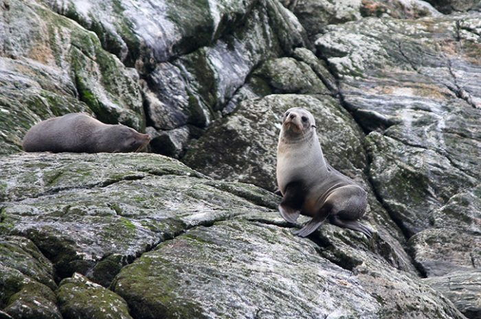 Doubtful Sound Seal