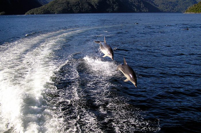 Doubtful Sound dolphins
