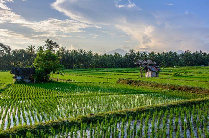 Rice Fields, Ubud
