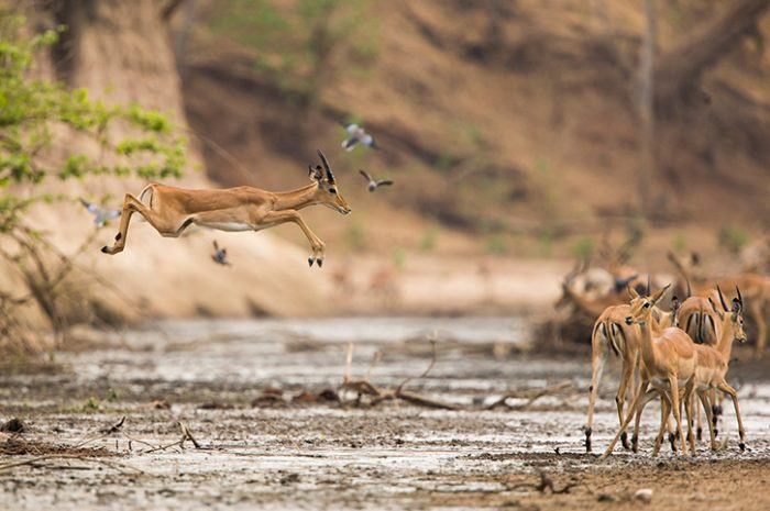 Impalas, Zimbabwe