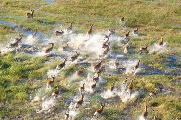 Impalas in the Okavango Delta