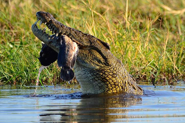 Crocodile Chobe River