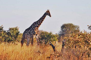 Giraffe, Hwange National Park