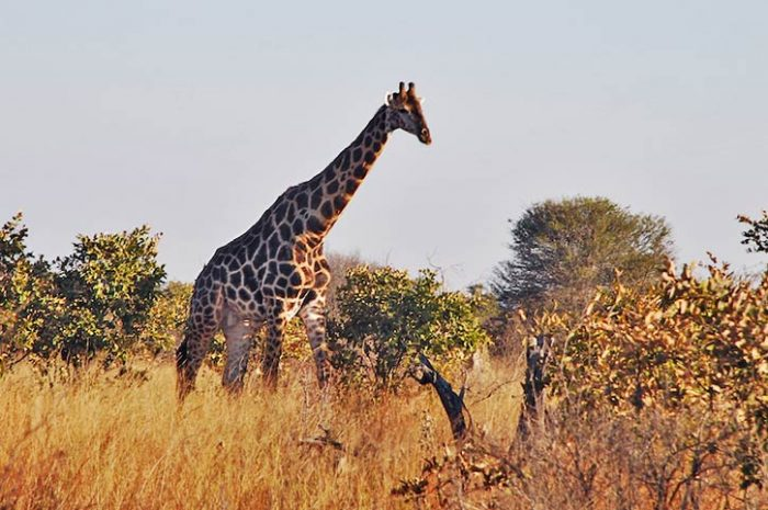 Giraffe, Hwange National Park