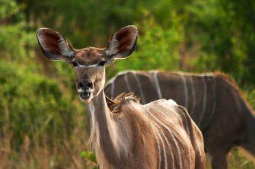 Wild Kudu