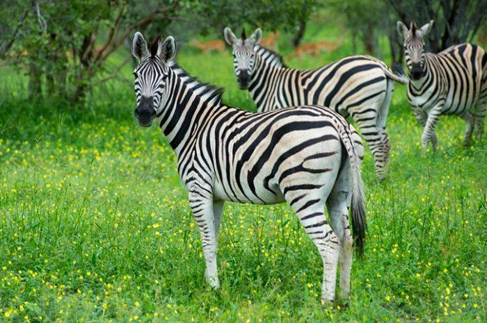 Zebra in Moremi Reserve