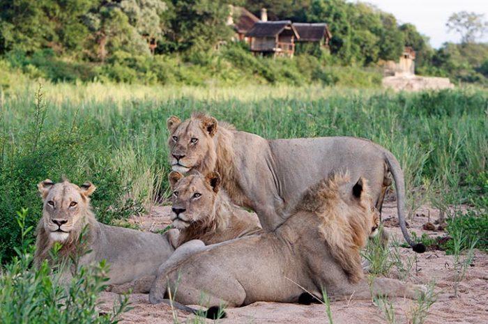 Jock Safari Lodge Pride of Lions