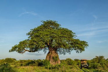 Jongomero baobab