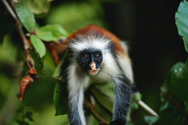 Red colobus monkey, Jozani Forest
