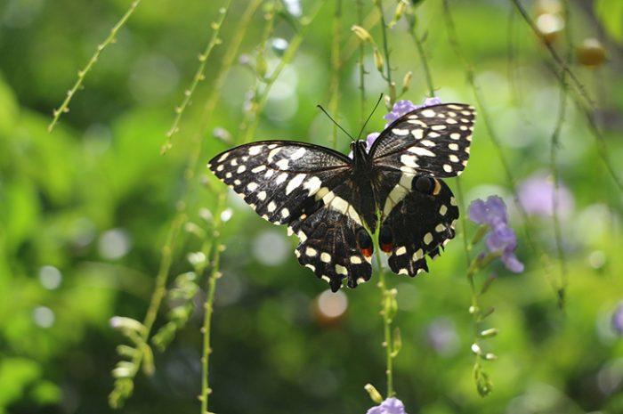 Butterfly of Zanzibar