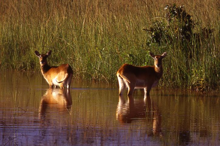Kafue Lechwe, Zambia