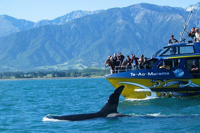 Kaikoura Whale Watching Tour