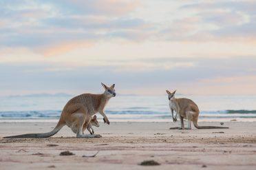 Kangaroos In Mackay