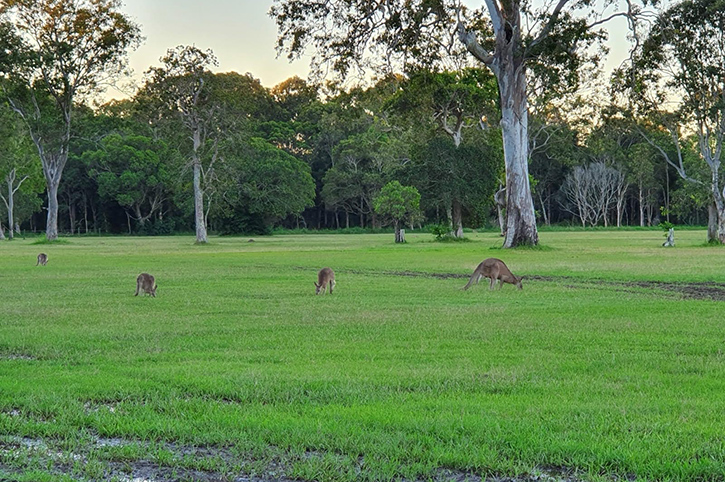 Kangaroos, Nature Coast