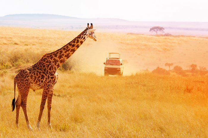 Giraffe, Amboseli National Park