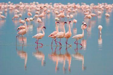 Flamingos, Nakuru Lake, Kenya
