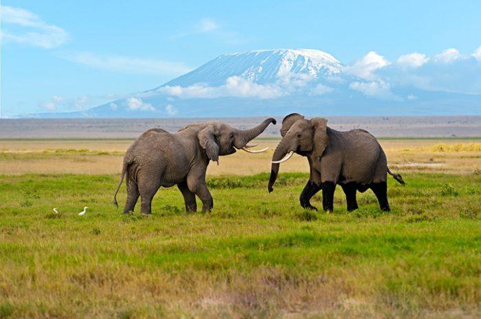 Elephants, Kilimanjaro, Tanzania