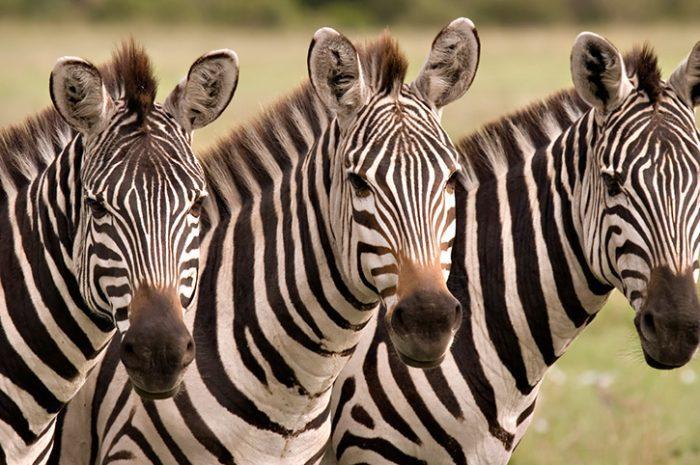 Zebra, Masai Mara, Kenya
