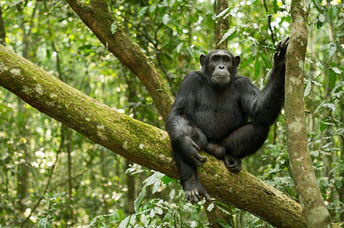 Chimpanzee, Kibale Forest