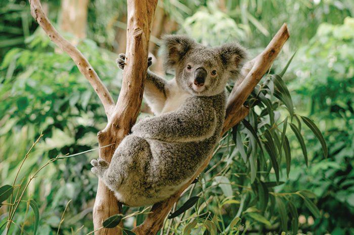 Koala, Hamilton Island
