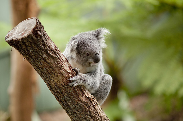 Koala in Taronga Zoo, Sydney