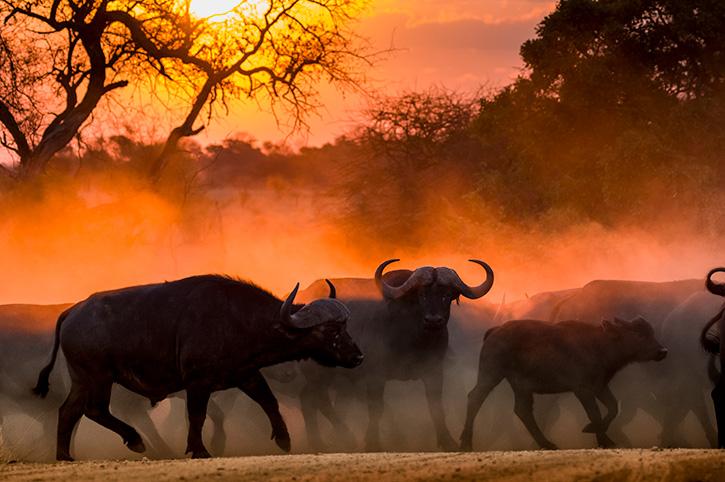 Buffalo, Kruger