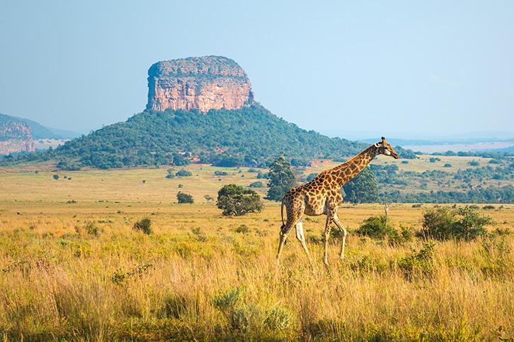 Giraffe, Kruger