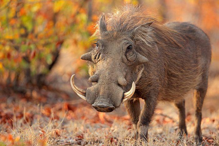 Warthog, Kruger