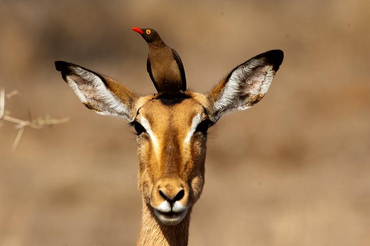 Kruger Impala