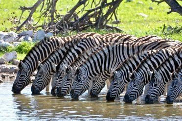 Zebras, Kruger National Park