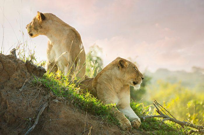 Lions, Kruger National Park