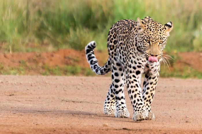 Leopard, Pilanesberg National Park