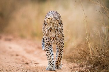 Leopard, Kruger National Park