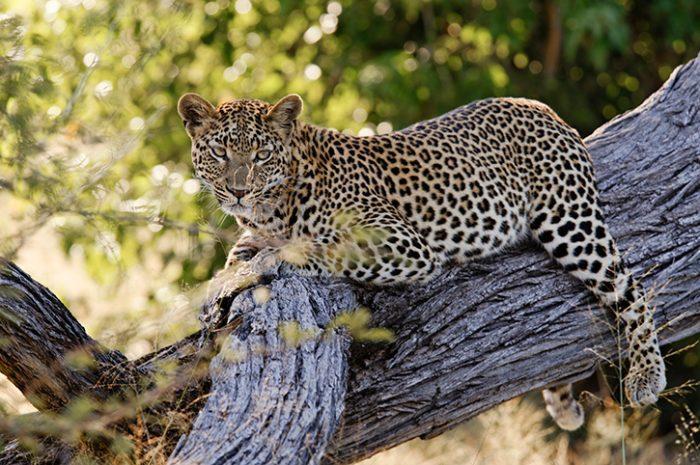 Leopard, Botswana. Africa