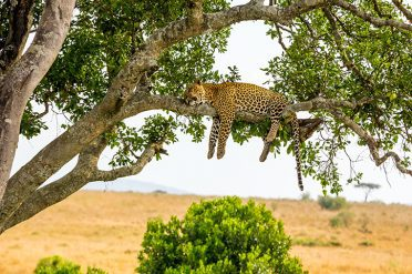 Leopard up a tree