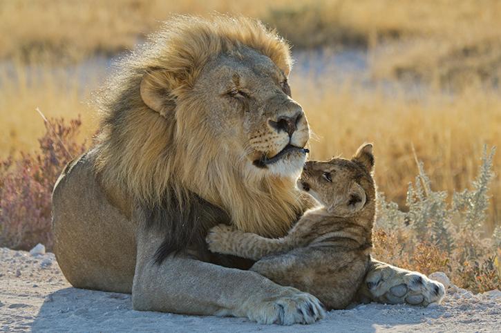 Lion and cub, Etosha National Park