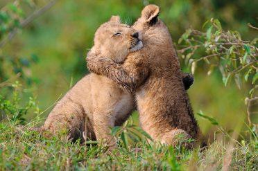 Lion Cubs, Kenya, Africa