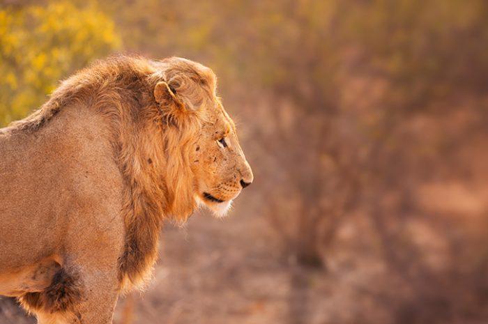 Lion in Kruger Natioanl Park