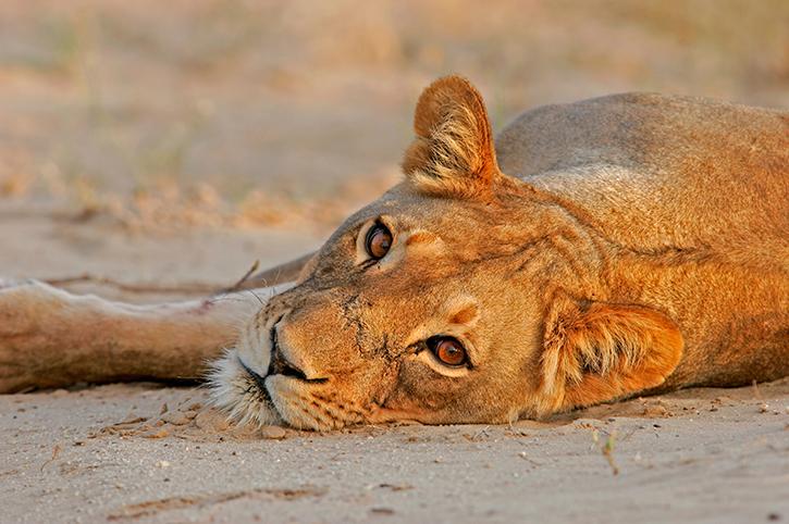 Lioness, Kalahari Gemsbok National Park