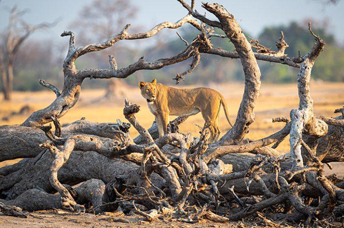 Lioness, Mana Pools National Park