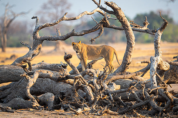 Lioness, Mana Pools National Park