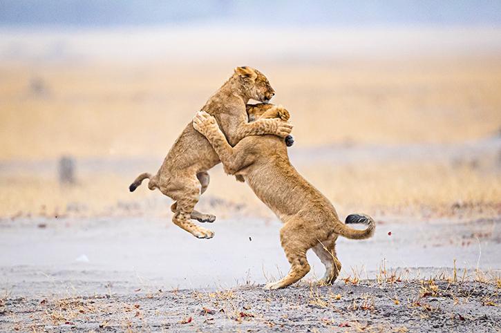 Lions, Zimbabwe