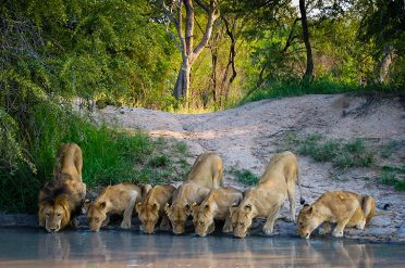 Lions South Africa