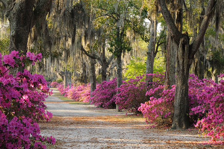 Live Oaks and Azaleas, Savannah